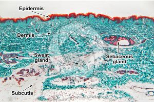 Man. Skin and epidermis. Vertical section. 32X